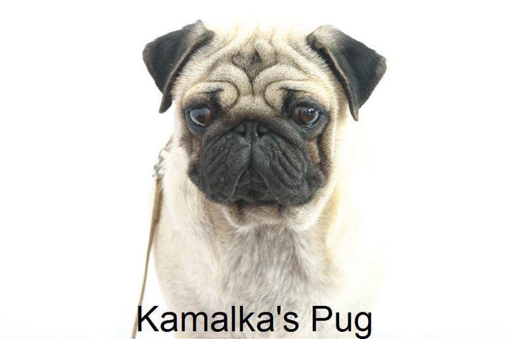 , Kamalka's Pug, DogSpot.in