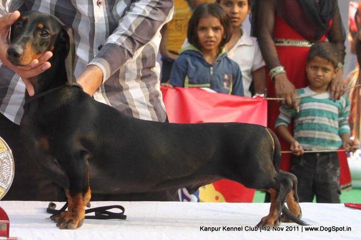 dachshund,ex-62,sw-42,, OSPREY'S EURO, Dachshund Standard- Smooth Haired, DogSpot.in
