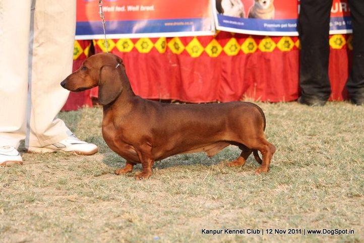 dachshund,ex-61,sw-42,, ALU ALLIYA, Dachshund Standard- Smooth Haired, DogSpot.in
