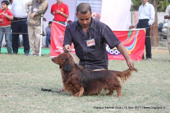 dachshund,ex-58,sw-42,, SRINAGAR-O-RPREUS-V- MARGIN -SL, Dachshund Standard- Long Haired, DogSpot.in