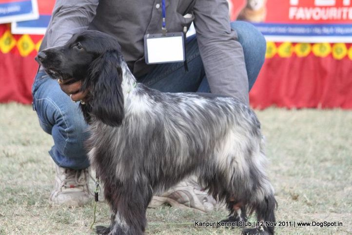 cocker,sw-42,, Kanpur Dog Show 2011, DogSpot.in