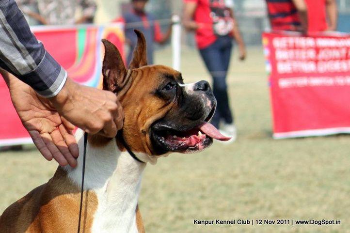 boxer,ex-122,sw-42,, OSPREY'S RADOW, Boxer, DogSpot.in