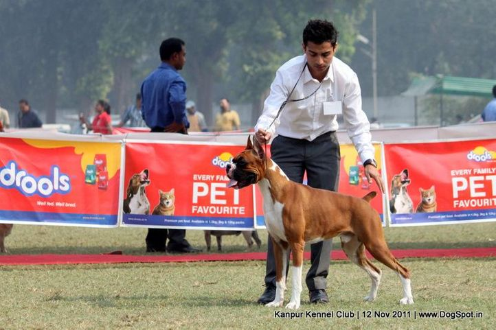 boxer,ex-127,sw-42,, EXPOUNDERS SILVER SURFER, Boxer, DogSpot.in