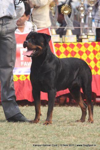ex-177,rottweiler,sw-42,, BINGO VOM HAUS DRAZIC, Rottweiler, DogSpot.in