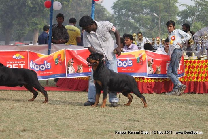 ex-176,rottweiler,sw-42,, CH Grewal`s Security, Rottweiler, DogSpot.in