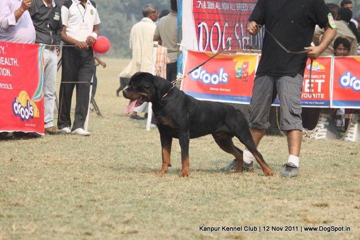 ex-165,rottweiler,sw-42,, TYSON HAUS OF LAZIC, Rottweiler, DogSpot.in