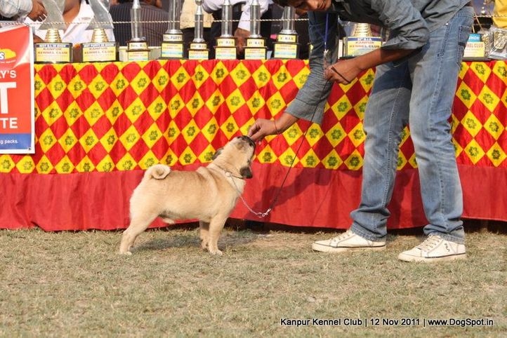 pug,sw-42,, Kanpur Dog Show 2011, DogSpot.in