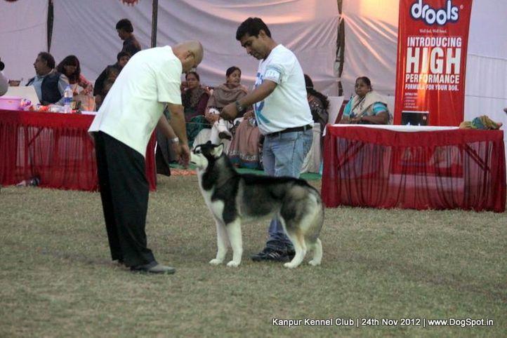 ex-171,judging,siberian husky,sw-72,, W-GODS CALVATION OF WINNER VALLEY, Siberian Husky, DogSpot.in