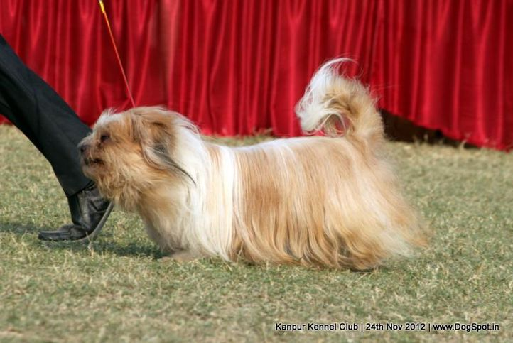 ex-106,lhasa apso,sw-72,, ROCK, Akita, DogSpot.in