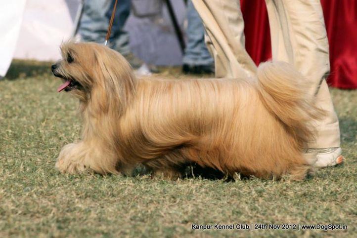 ex-107,lhasa apso,sw-72,, FLASHY, Akita, DogSpot.in