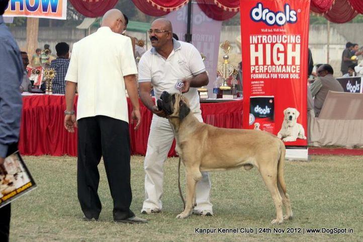 ex-145,judging,mastiff,sw-72,, ZACK, Mastiff- English, DogSpot.in