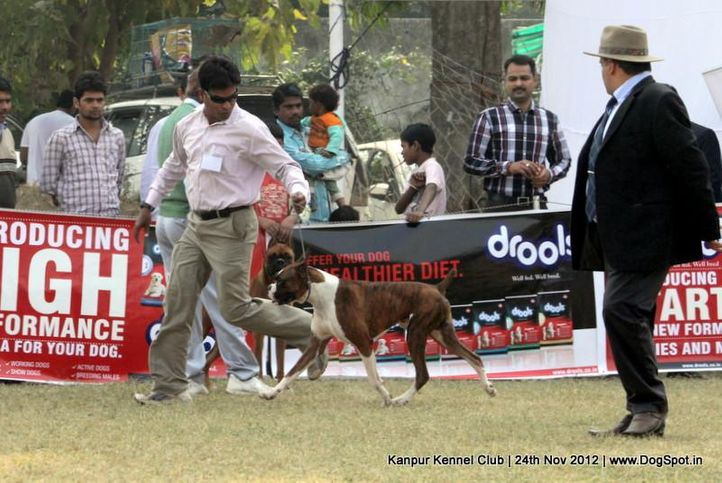 boxer,ex-117,judging,sw-72,, VALENTINO'S JODEN, Boxer, DogSpot.in