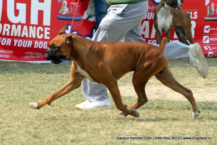 boxer,ex-113,sw-72,, NEXT STEP'S EGO, Boxer, DogSpot.in
