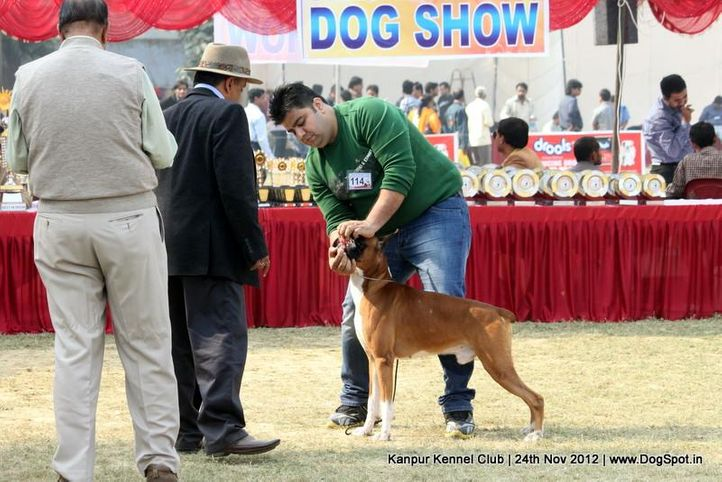 boxer,ex-114,judging,sw-72,, NEXT STEP'S TRIUMPH, Boxer, DogSpot.in