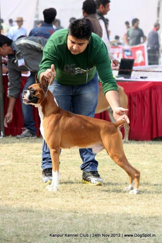 boxer,ex-114,sw-72,, NEXT STEP'S TRIUMPH, Boxer, DogSpot.in