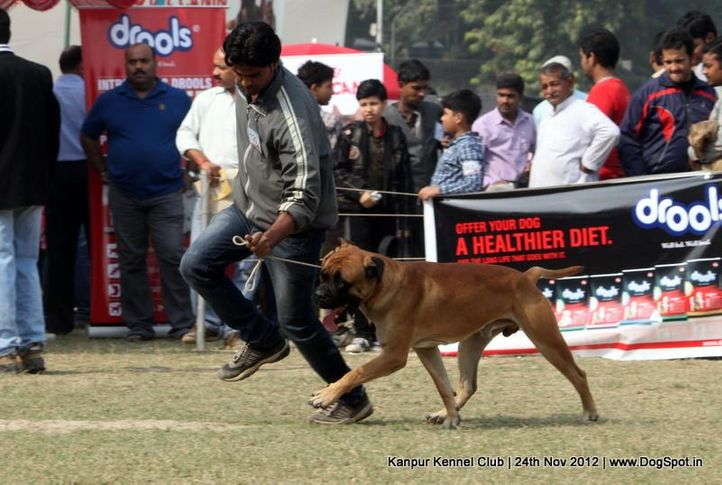 bull mastiff,ex-120,sw-72,, LIFE GUARD'S CERTAIN, Bullmastiff, DogSpot.in