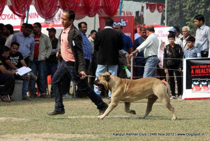 bull mastiff,sw-72,, Kanpur Dog Show 2012, DogSpot.in