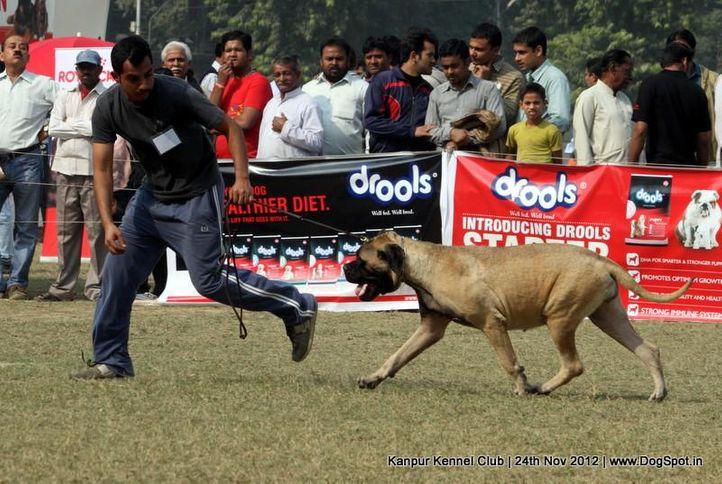 bull mastiff,ex-118,sw-72,, THEROGUARD'S MY OHH MY, Bullmastiff, DogSpot.in