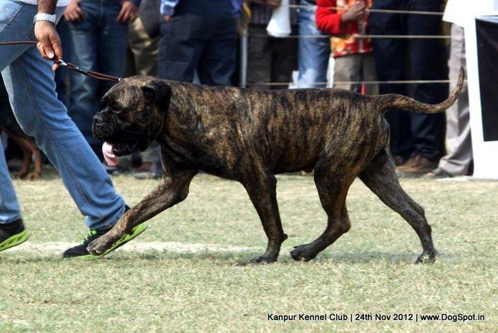bull mastiff,ex-208,sw-72,, SANDHU'S BRANCO, Bullmastiff, DogSpot.in