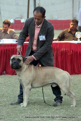 bull mastiff,ex-119,sw-72,, I BRAVI RAGAZZI JUST A GIGOLO, Bullmastiff, DogSpot.in