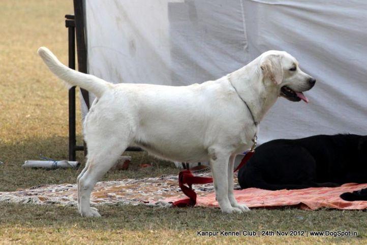 labrador retriever,sw-72,, Kanpur Dog Show 2012, DogSpot.in