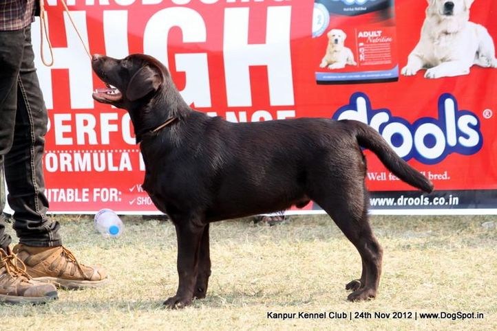 ex-71,labrador retriever,sw-72,, ENAKSHI S CHOCO, Labrador Retriever, DogSpot.in