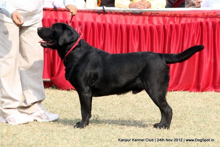 ex-81,labrador retriever,sw-72,, TIGER OF SPEED, Labrador Retriever, DogSpot.in