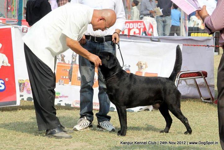 ex-76,judging,labrador retriever,sw-72,, MOHINDERA'S MASTER BLASTER, Labrador Retriever, DogSpot.in