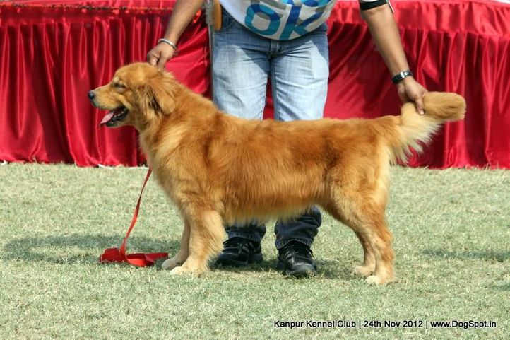 ex-67,golden retriever,sw-72,, TH.IND.GOLD DISCOVERY CRUIZE, Golden Retriever, DogSpot.in