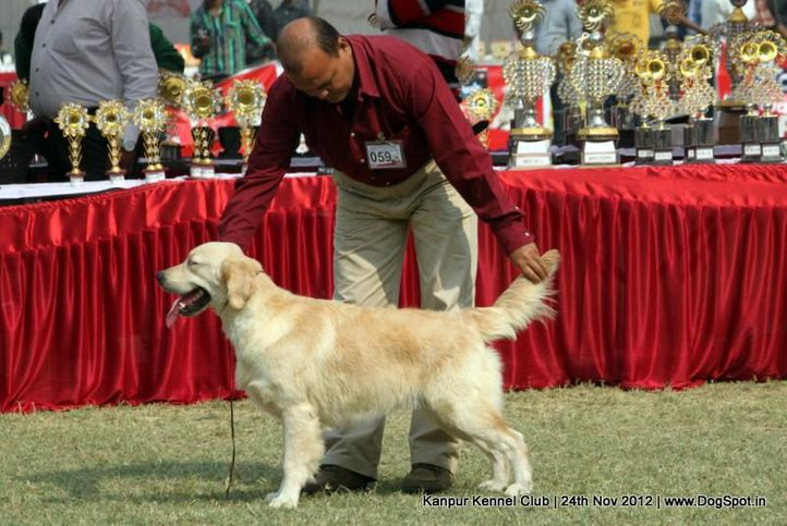 ex-59,golden retriever,sw-72,, SPARTA'S NINJA, Golden Retriever, DogSpot.in