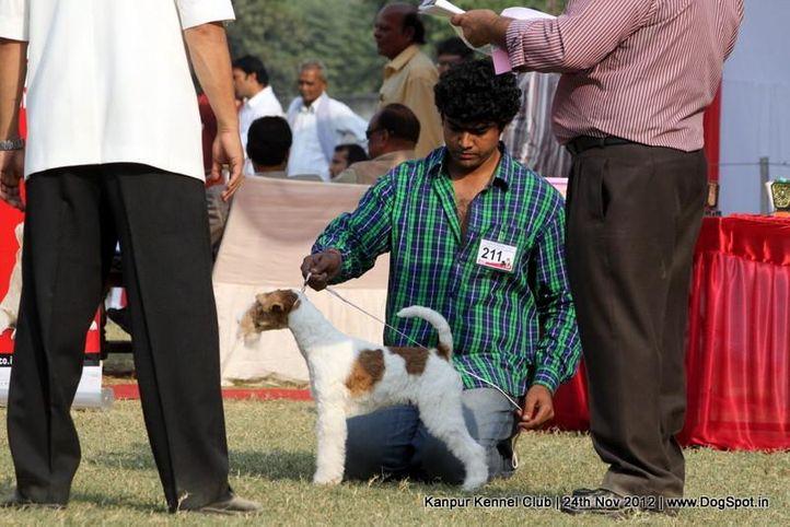 ex-211,fox terrier,sw-72,, FIERY FOX SAFARI, Fox Terrier- Weired Hair, DogSpot.in
