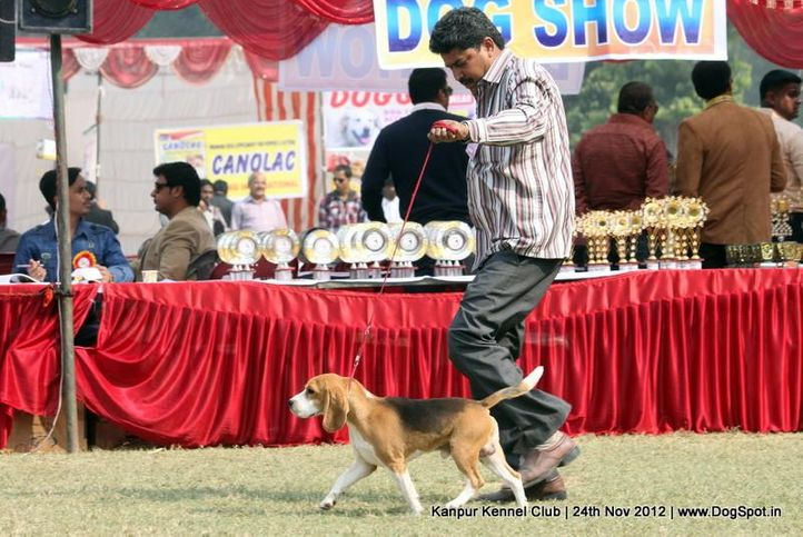 beagle,ex-44,sw-72,, IMPRESSION'S THE BULLET, Beagle, DogSpot.in