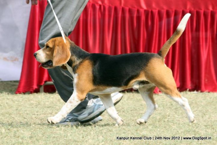 beagle,ex-41,sw-72,, AMBER GAMBLER, Beagle, DogSpot.in