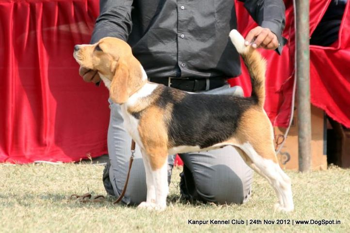 beagle,ex-38,sw-72,, SPARK OF ZENITH, Beagle, DogSpot.in