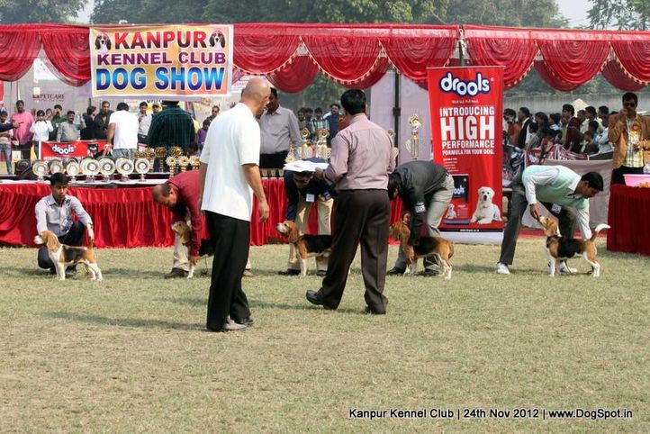 beagle,judging,sw-72,, Kanpur Dog Show 2012, DogSpot.in