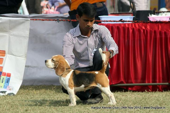 beagle,ex-33,sw-72,, TH. CH. CEASER MARCHING MARCHINE, Beagle, DogSpot.in
