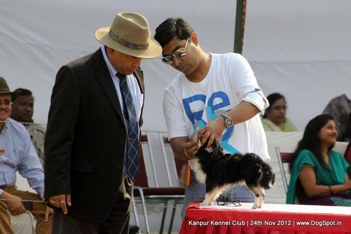 chihuahua,ex-1,judging,sw-72,, ESTERA ENJOY IN LOVE SHOW, Chihuahua (Long Coat), DogSpot.in