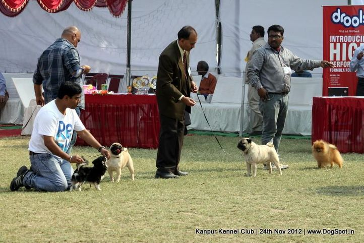 sw-72,toy group,, Kanpur Dog Show 2012, DogSpot.in