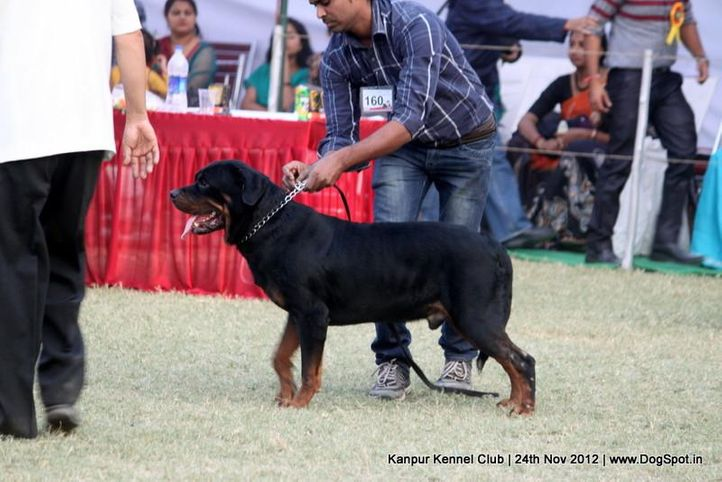 ex-160,rottweiler,sw-72,, LUGER, Rottweiler, DogSpot.in