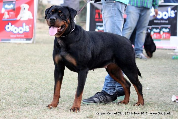 rottweiler,sw-72,, Kanpur Dog Show 2012, DogSpot.in