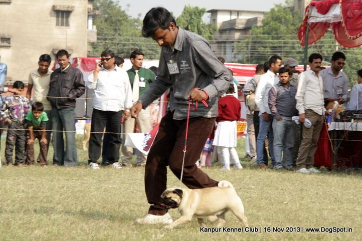 ex-13,pug,sw-97,, Kanpur Dog Show 2013, DogSpot.in
