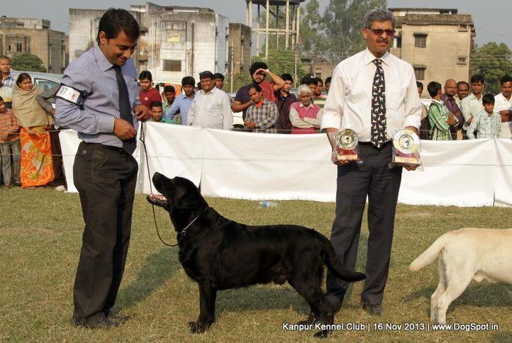 bob,ex-75,labrador retriever,sw-97,, Kanpur Dog Show 2013, DogSpot.in