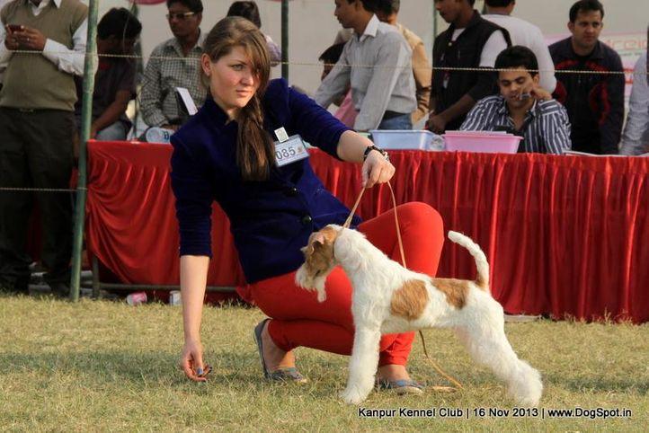 ex-85,fox terrier,sw-97,, Kanpur Dog Show 2013, DogSpot.in