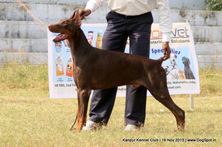 dobermann,ex-118,sw-97,, Kanpur Dog Show 2013, DogSpot.in