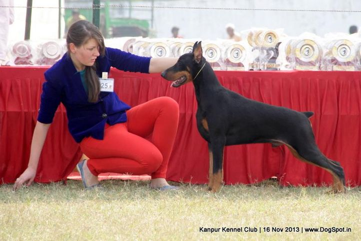 dobermann,ex-125,sw-97,, Kanpur Dog Show 2013, DogSpot.in