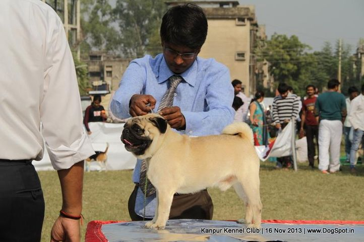 ex-15,pug,sw-97,, Kanpur Dog Show 2013, DogSpot.in