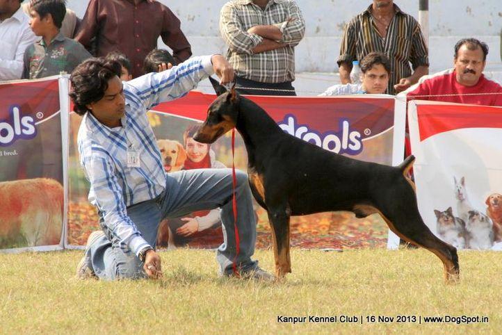 dobermann,ex-112,sw-97,, Kanpur Dog Show 2013, DogSpot.in