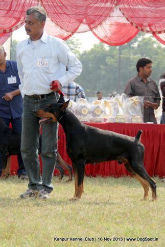 dobermann,ex-115,sw-97,, Kanpur Dog Show 2013, DogSpot.in