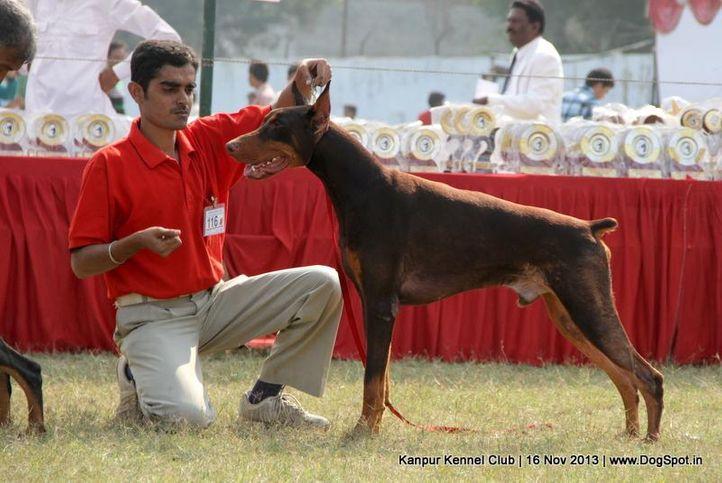 dobermann,ex-116,sw-97,, Kanpur Dog Show 2013, DogSpot.in