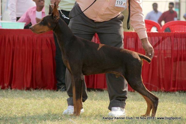 dobermann,ex-119,sw-97,, Kanpur Dog Show 2013, DogSpot.in